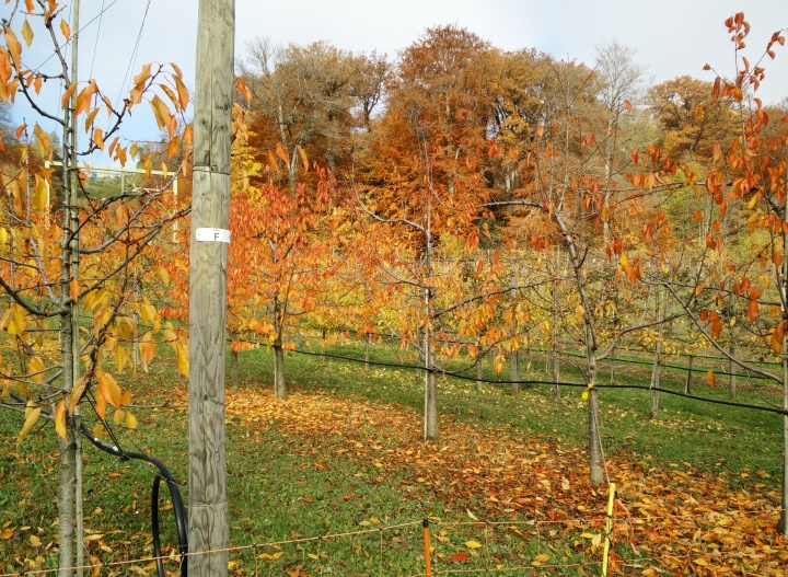 retropomme fruit trees